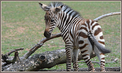 <> Baby Zebra Activity <> (Wolverine09J ~ 1 Million + Views) Tags: comozsum16 babywildlife zebra mammal africanfauna summerzoo nature heartawards livingjewelsofnature friendsforever fantasticnaturegroup level1autofocus level2autofocus level1thewondersofnature 1goldwildlife naturesbest sjohnsonsfauna level2thewondersofnature level3thewondersofnature thebeautyofnature amazingcapture rainbowofnaturelevel1red