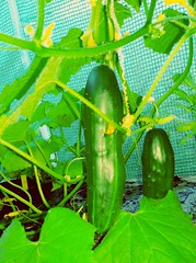 Cucumbers in poly tunnel.