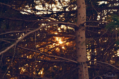 Setting sun (Krissy-Anne ) Tags: sunset sun bokeh branches trees forrest golden