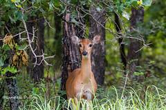 Cross Timbers tapestry (Lindell Dillon) Tags: doe deer wildlife nature ecosystem crosstimbers washingtonirving oklahoma lindelldillon
