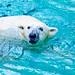 Female Polar Bear, Tsuyoshi of Yokohama Zoological Gardens : ズーラシアのホッキョクグマ(ツヨシ)