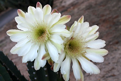 night bloomer (desertbunnee) Tags: cactus flower nightblooming desert cereus