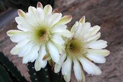 night bloomer (desertbunnee) Tags: cactus flower nightblooming desert cereus