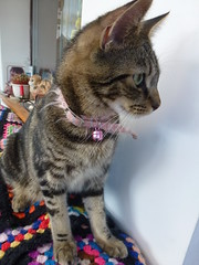 Mara ! (Mara 1) Tags: cat kitten pet animal indoors face tabby stripes blackgreyfawn coat fur whiskers pink collar blanket