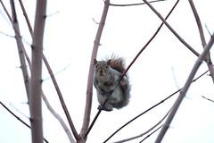 DSCF2294 (miniluc13) Tags: cureuil squirrel
