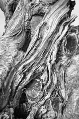 Old Stump (Joe Josephs: 2,861,655 views - thank you) Tags: blackandwhitephotography blackandwhite landscapephotography landscapes landscape california californiacentralcoast californiacoast californialandscape travelphotography fineartphotography fineartprints joejosephs joejosephsphotography copyrightjoejosephsphotography fiscaliniranchpreserve cambriacalifornia cambria outdoorphotography travel hiking adventure