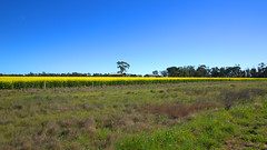 SOUTH OF JERILDERIE (16th man) Tags: jerilderie finley tocumwal koonoomoo nsw newsouthwales vic victoria canola rapeseed canon eos eos5dmkiii