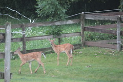 IMG_0108 (thinktank8326) Tags: deer fawn babyanimal babydeer whitetaileddeer