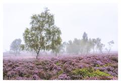 Owler Fog (richjjones) Tags: tree heather peak district owler tor landscape mist fog serene summer calm morning sunrise dawn silver birch