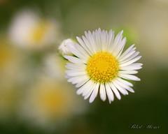 Daisy Fleabane (Bob the Birdman and All Around Nature Guy) Tags: daisyfleabane erigeronannuus robertmiesner bobthebirdman flower wildflower macro nature plant