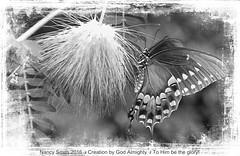 Swallowtail in black and white (NancySmith133) Tags: blackandwhite spicebushswallowtailbutterfly textura centralfloridausa orangecountyfl backyardbutterflies