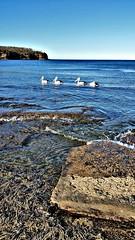 Four in a row (elphweb) Tags: seascape rocks headland pelican pelicans birds australia flasehdr coast