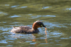 801_0568 (redape99_) Tags: atlantic birdlife birds pond telephoto water wildlife