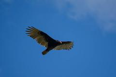 Dinner Time! (gendarme02) Tags: turkey vulture turkeyvulture normangee texas usa leon leoncounty bird carrion scavenger raptor ranch farm rural