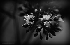 Intimate Moment (Heather Smith Photography) Tags: sedum nikon flower intimate bw macro silvereffects blackwhite flowers closeup 105mm