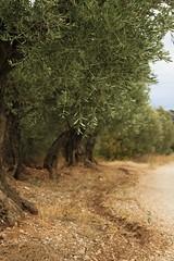 oliviers ([insta :@provence_rhone_ventoux]) Tags: ventoux nuage vigne