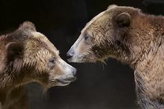 Brothers Grizzly (Rita Petita) Tags: grizzlybear bear scoutandmontana sandiegozoo sandiego california specanimal specanimalphotooftheday