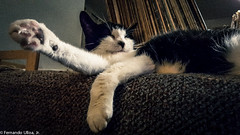Whatever (ferntech) Tags: cat feline lounging givemefive chillin quetzal snoozing