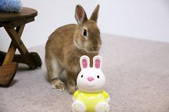 Ichigo san 309  (mensore) Tags: brown bunny cute ichigo netherlanddwarf pet rabbit