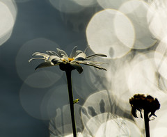 Wake-up Fresh. (Omygodtom) Tags: river sunny flickr flower dof daisy shadow shade waterdrops raindrop nature natural nikon d7100 outdoors pov selectivefocus art abstract