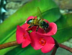 Aeja_01 (jagar41_ Juan Antonio) Tags: flores flor flora abejas abeja insectos insecto coronadecristo