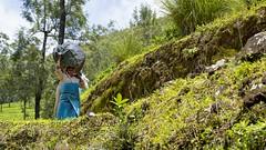 319A1678 Harvesting Tea. Western Ghats, Kerala (Priscilla van Andel (Uploading database)) Tags: teaplantation tea harvestingtea munnar kerala