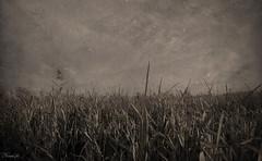 Temporal de estragos (Noem pl.) Tags: sepia oscuro estragos seco campos temporal filtro tenebroso viejo nature proverbiocree reflexin