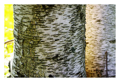 """Birch sensations • <a style=""""font-size:0.8em;"""" href=""""http://www.flickr.com/photos/134137971@N02/29275666154/"""" target=""""_blank"""">View on Flickr</a>"""