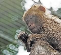 (JCRphotography) Tags: animals captiveanimals edinburghzoo jcrphotography nikond5500 barbarymacaque nikkor55300mmf4556gedvr animalportrait