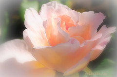 Augusta Luise (Fay2603) Tags: augusta luise duft rose blume flower blte blossom beautiful nature natur outdoor parfum smell queen flowers rosa rosee light licht heiter pastell tender delicate zart fein hauch hauchzart apricot green hellgrn grn