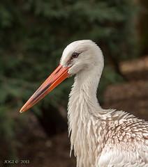 Walsrode, Weltvogelpark, Storch (joergpeterjunk) Tags: walsrode weltvogelpark outdoor tier vogel canoneos50d canonef100400mmf456lisusm storch