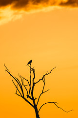 Against A Sunset Sky (Trevan Hiersche) Tags: montana evening bird tree silhouette montanamoment wild wildlife molt