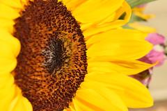 Sunflower - Macro Shot (AnnaSodaroArt) Tags: 2016 a2 focallength arts361002 ak