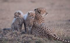 All angles covered (Sue MacCallum-Stewart) Tags: cheetah maasaimara malaika cubs family bigcat wildlife nature kenya africa