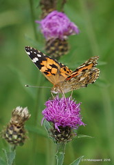 Distelvlinder (ditmaliepaard) Tags: distelvlinder vlinder butterfly opdefiets a6000 sony engelen coth ngc coth5