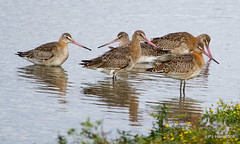 Juvenile Black Tailed Godwits. (Peter J. Ham.) Tags: waders birds nature life colour godwit btg rspb wirral england northwest birding aves avies oiseaux vogel feathers flocks feeding outdoors countryside water wetland