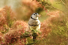 Double-barred Finch (Janis May) Tags: doublebarredfinch northernterritory foggdam finch