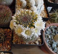 Mammillaria zeilmanniana v. albiflora (Cacti & Succulents) Tags: v mammillaria zeilmanniana albiflora