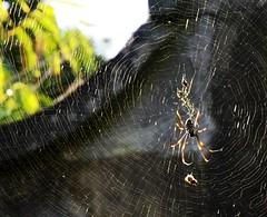 Aussie Spiders 4
