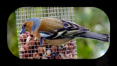 Chaffinch (X-S1 Dave) Tags: hello garden happy countryside spring fuji north norfolk april 2012 chaffinch lightroom fakenham exr vyv hs30exr