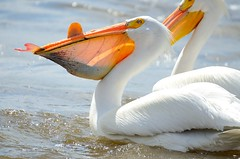 Pelican mouthful - fresh from the Mississippi River (cl.lin) Tags: white fish bird nature river mississippi illinois fishing nikon lock dam wildlife 14 birding sigma pelican iowa american mississippiriver hampton americanwhitepelican leclaire lockanddam14 d7000