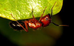 DPP_2483 (Darts5) Tags: red macro closeup bug insect ant insects bugs ants upclose bullant bullants camponotusfloridanus floridacarpenterant floridacarpenterants tortugascarpenterant camponotustortugasnus tribecamponotini