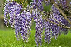 Beauty Through the Veil of Tears (Synapped) Tags: flower grass purple lavender wisteria select