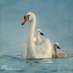 Swan Family, part 2 (betty wiley) Tags: birds plymouth swans cygnets widlife manomet bartlettpond lindafuller amydavies