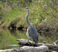 Great Blue Heron (K Fletcher) Tags: blue calgary bird heron great alberta inglewood