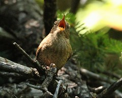 Winter Wren 1 (mbmcclintock) Tags: haystack