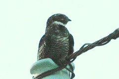 IMG_7606  Common Night Hawk (John Pohl2011) Tags: bird canon john hawk birdofprey pohl perching sx30is