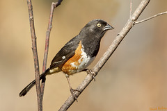 White Eyes (Hank Halsey) Tags: florida evergladesnationalpark easterntowhee whiteeyes enp hankhalseyphotography mg2722cr2