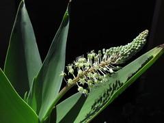 Ledebouria zebrina (xerantheum) Tags: garden berkeley ledebouria hyacinthaceae zebrina geophyte nnbh1702