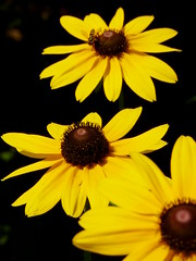 Black-eyed Susans (Dendroica cerulea) Tags: summer plant flower yellow garden newjersey nj highlandpark rudbeckia asteraceae blackeyedsusan middlesexcounty asterales heliantheae asteroideae